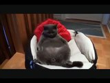 Funny cat, Laugh and only New Comedy, Jokes, Funny Videos Humor! Laughter! Joke!