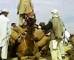 sraki local  iunnt ( camel ) mela full entrtainment--[Masha Allah mobile Taunsa 03336466861