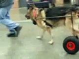 Berger allemand chien paralysé handicapé