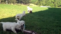 6 Adorable Golden Retriever Puppies Play With Stuffed Animals