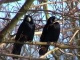 Zwei verliebte Krähen im Winter