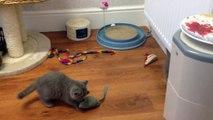 Litter F- Blue British Shorthair & British Longhair. 9 Weeks today - Running around and having fun!
