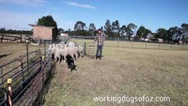 Denis Le Serve and his black and tan Kelpie Mero backing sheep in the yard.