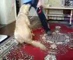 köpek eğitimi ve köpeğim golden tarçın bakalım neler yapmış
