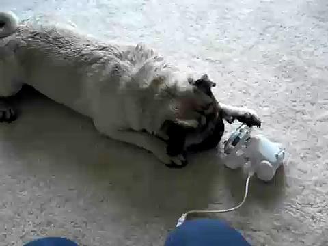 crazy pug and idog