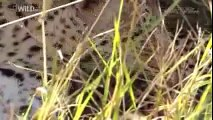 Discovery Channel Documentary | Discovery Channel Animals | Leopard Documentary #2015 HD
