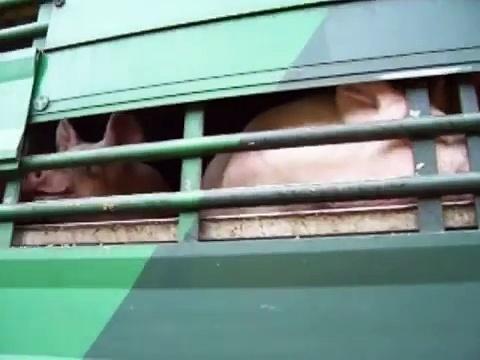 scania livestock