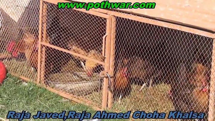 Choha Khalsa cattle Farming