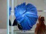 { Sold out } Betta Splendens : (0711-25) Turquoise Halfmoon Doubletail Male.mp4