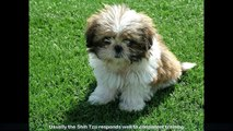 Shih Tzu Stop Barking - In This Free Mini Course Learn How to Train Your Shih Tzu to Stop Barking