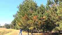 UGA Researcher Works To Develop Pine Trees With No Pine Cones