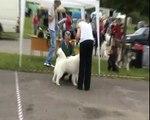 CAC Dog Show Ogre, LV Samoyeds 28 06 09