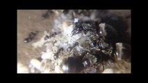 My four queen Lasius Niger colony