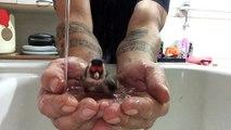 Un oiseau prend un bain dans les mains d'un homme