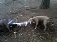 American Staffordshire Terrier Pit Bull Terrier  Tug of War