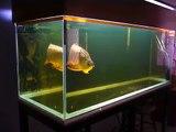 Spoon Head Cross Back Golden Arowana Fish, ikan kelisa emas bukit merah