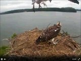 We have an Osprey Fledge , first of the two fledged this morning  July 12, 2013