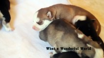 New Born Husky Puppies 2015 - Husky Puppies Want Their Mom