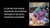 Sénégal génétique laitière : par une meilleure utilisation des races bovines laitières