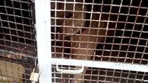 DOLGA Staffordshire Terrier 1 ans 5 mois (Tunisia) HD