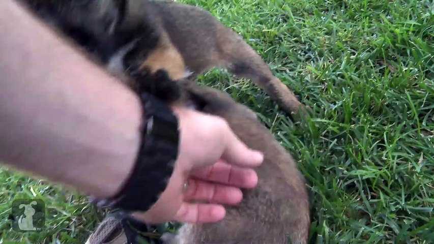 Bouncing Border Terrier Puppies Have The MOST Energy!!!