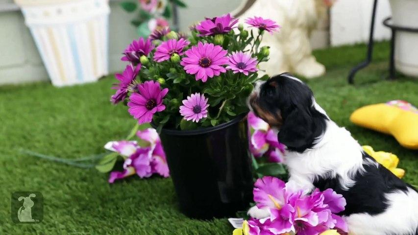 Cavalier Puppies Arrange Flower Bouquet, Not Professional Florists