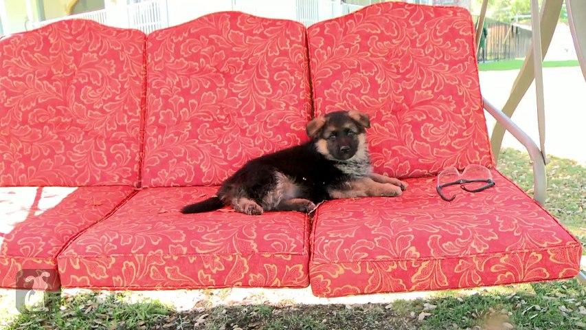 Fluffy German Shepherd Puppy Falls Asleep In Rocking Chair