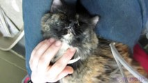 Shilo the Relaxed Lap Cat - Adopted!