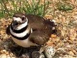 Killdeer Bird Nest with Chicks