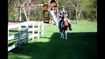 Bay Tri Colored Tobiano Gelding Tennessee Walking Horse ***SOLD - Congratulation to Susan ***
