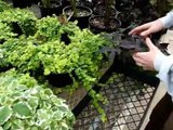 Softwood plant propagation by cuttings