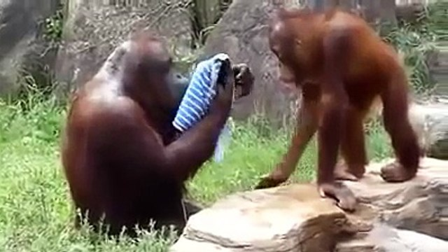 Orangutan Washes Face With Wash Cloth (Evolution)