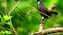 黑喉噪眉(Garrulax chinensis)Black-throated laughing thrush-20100626