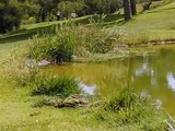 Frog jumping into water at golf course.AVI