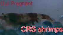 Pregnant CRS (crystal red shrimp)