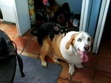 Little Dog Humping Big Dog!