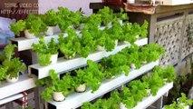 CEBU HYDROPONICS--- hydroponic lettuce garden