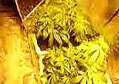 blueberry cannabis plants