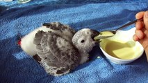 African grey baby Hand feeding 8 weeks old, Bébé gris du gabon, ヨウムの赤ちゃん 8週目