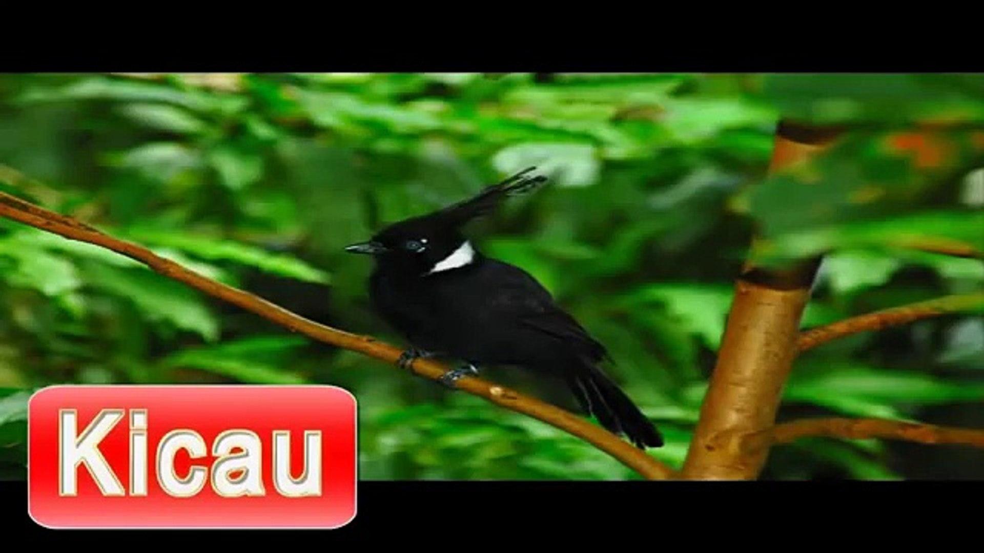 Suara Burung Cililin Masteran Mp3