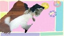 Maltese Puppy  VS  Shiba Inu Puppy    Too Cute!