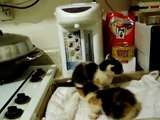 5th & 6th Kittens in Kitchen (講台山話)