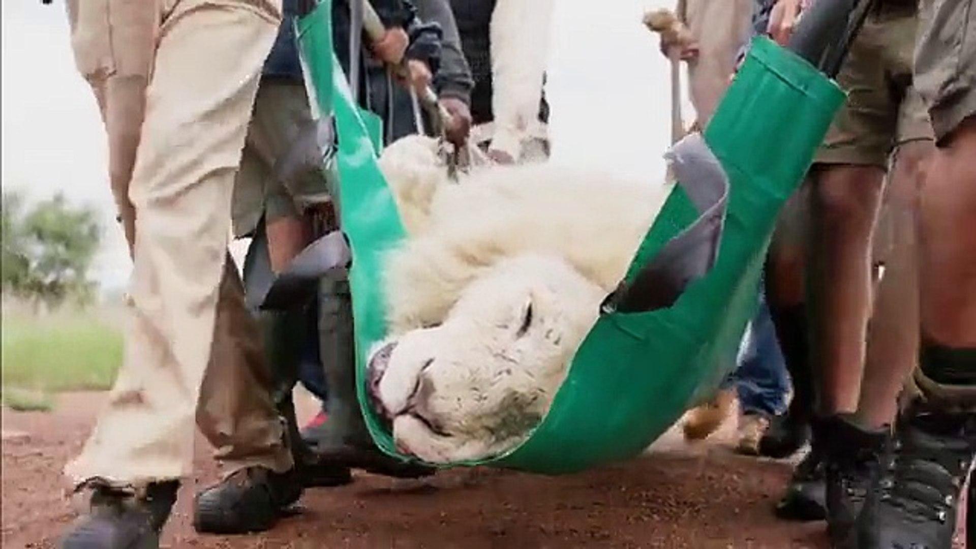 L'opération de la greffe des dents, d'Aslan, le lion.