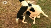 A little Female Dog humps the large Male Dog!