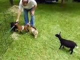 Une petite chèvre vraiment pas cool avec ses potes!