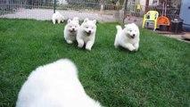 Samoyed puppies 6 weeks old