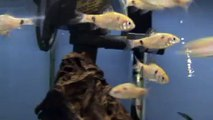 Odessa Barb (Puntius Ticto) for sale at Tyne Valley Aquatics