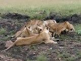 12 Lions eating a Zebra - Masai Mara July 2007