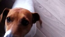 My crazy dog - spaiky - Jack Russel - HD