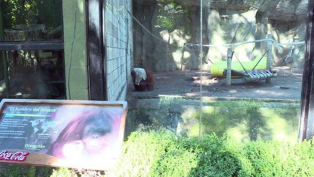 Recht auf Freiheit? Argentinien streitet über Zoo-Affen Sandra